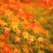 Yellow and red maple leave in autumn — Stock Photo #32809145