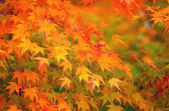 Yellow and red maple leave in autumn — Fotografia Stock