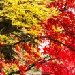 Red and yellow maple tree in autumn — Stock Photo