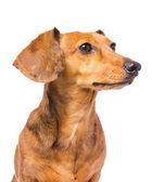 Cão bassê olhando para um lado — Foto Stock