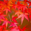 Red maple tree — Stock Photo #35339337