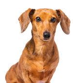 Dachshund dog isolated on white — Stock Photo