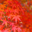 Red maple tree — Stock Photo #35828549