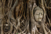 Buddha head statue and the banyan tree — Stock Photo