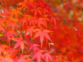Red maple tree — Stock Photo