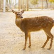 Female roe deer — Stock Photo