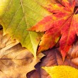 Stock Photo: Autumn maple leave