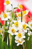 Narcissus flower — Stock Photo