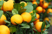 Mandarin close up — Stock Photo