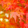Red maple tree — Stock Photo #36146523