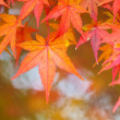 Red maple tree — Stock Photo #36397301