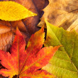 Stock Photo: Maple leave