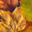 Maple leave in autumn — Stock Photo #36741549