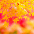 Maple tree — Stock Photo #37849135