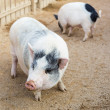 Pig on farm — Stock Photo