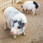 Pig on farm — Stock Photo