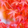Maple tree in red — Stock Photo #39028757