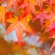 Stock Photo: Red maple leave