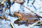 Wildness frog in lake — Stock Photo