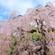 Weeping Cherry tree — Stock Photo #39743445
