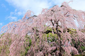 Weeping Cherry tree — Stock Photo