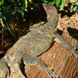 Stock Photo: Giant Plated Lizard