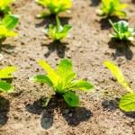 Green lettuce in garden — Stock Photo #40263363