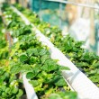 Stock Photo: Organic hydroponic strawberry field