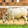 White cow — Stock Photo #40572509