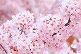 Sakura in pink — Stock Photo
