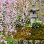 Sakura in Japanese garden — Stock Photo #40739961