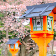 Red lantern with sakura tree — Stock Photo