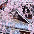 Weeping sakurtree with japanese temple — Stock Photo #41188561