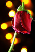 Wilted red rose — Stock Photo