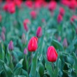 red tulip&quot — Stock Photo #41465565