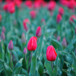 Red tulip — Stock Photo #41465565