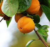 Persimmon tree — Stock Photo