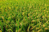 Green paddy rice field — Stock Photo