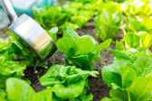 Fertilization of lettuce — Stock Photo