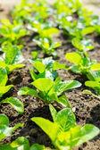 Lettuce field close up — Stock Photo