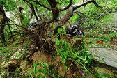 Broken tree ruined by typhoon — Stock Photo