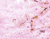 Sakura tree — Stock Photo