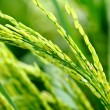 Paddy rice — Stock Photo #41969215