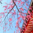 Sakura tree and temple — Stock Photo