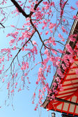 Sakura tree and temple — Stock Photo