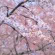 Stock Photo: Sakura