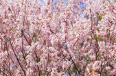 Sakura tree — Stock Photo