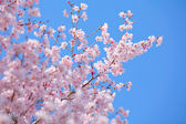 Sakura tree with blue sky — Stock Photo
