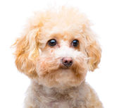 Brown poodle isolated — Stock Photo