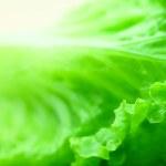 Lettuce — Stock Photo #42401797